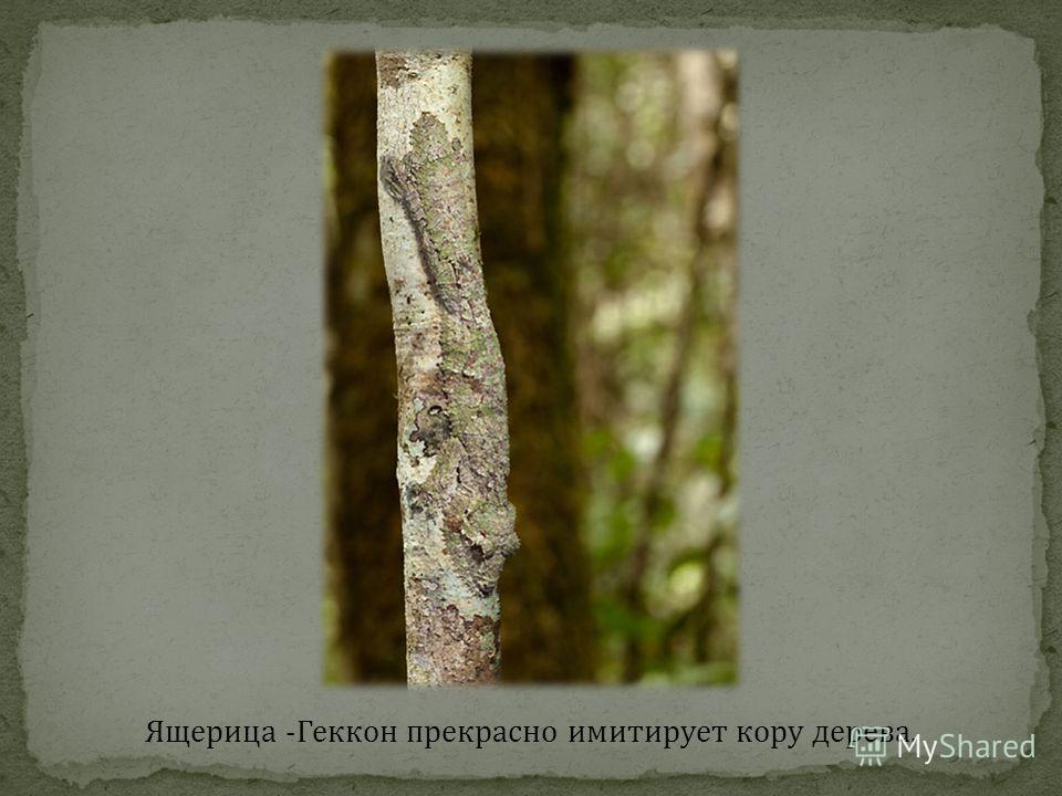 Ящерица -Геккон прекрасно имитирует кору дерева.
