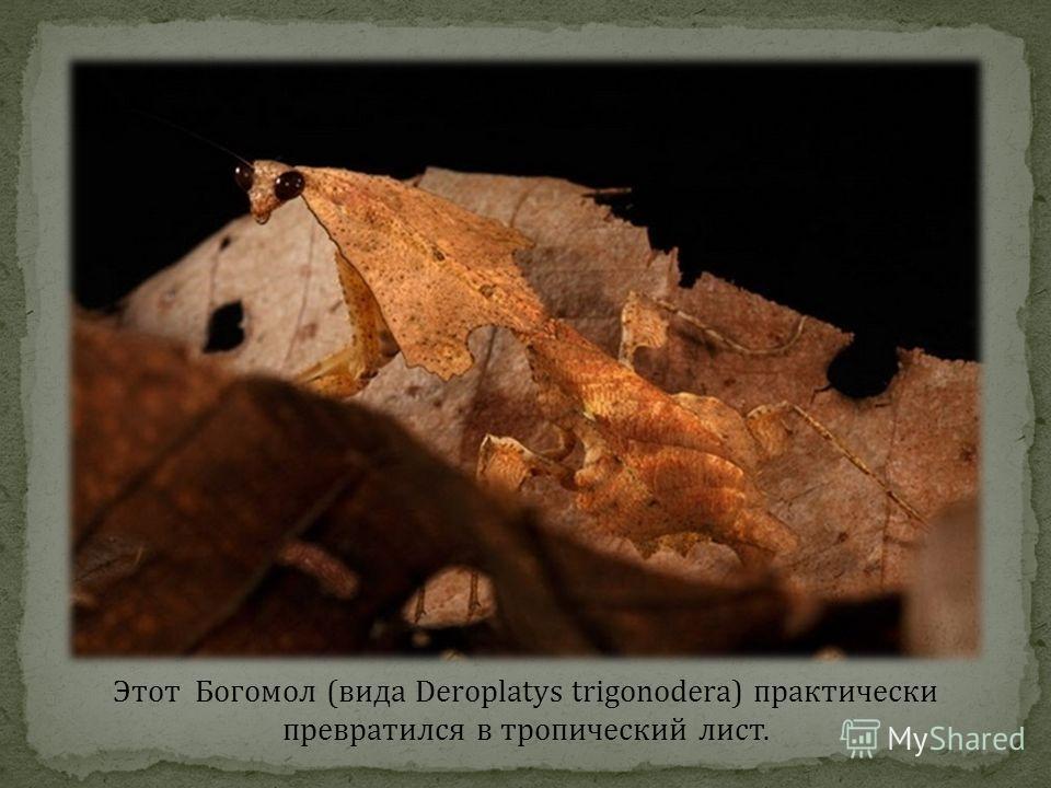 Этот Богомол (вида Deroplatys trigonodera) практически превратился в тропический лист.
