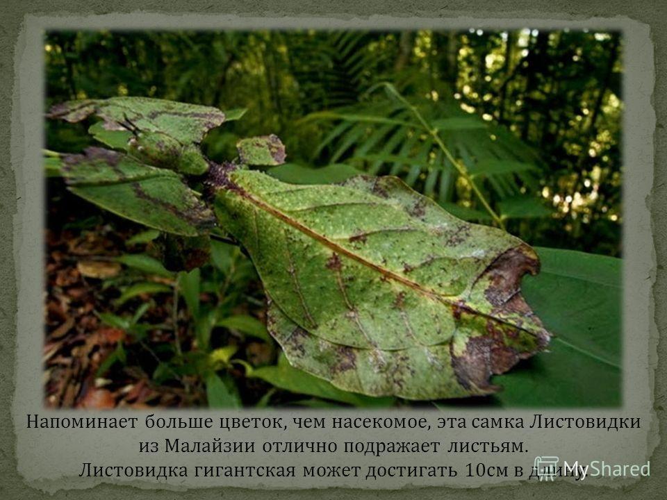 Напоминает больше цветок, чем насекомое, эта самка Листовидки из Малайзии отлично подражает листьям. Листовидка гигантская может достигать 10см в длину.