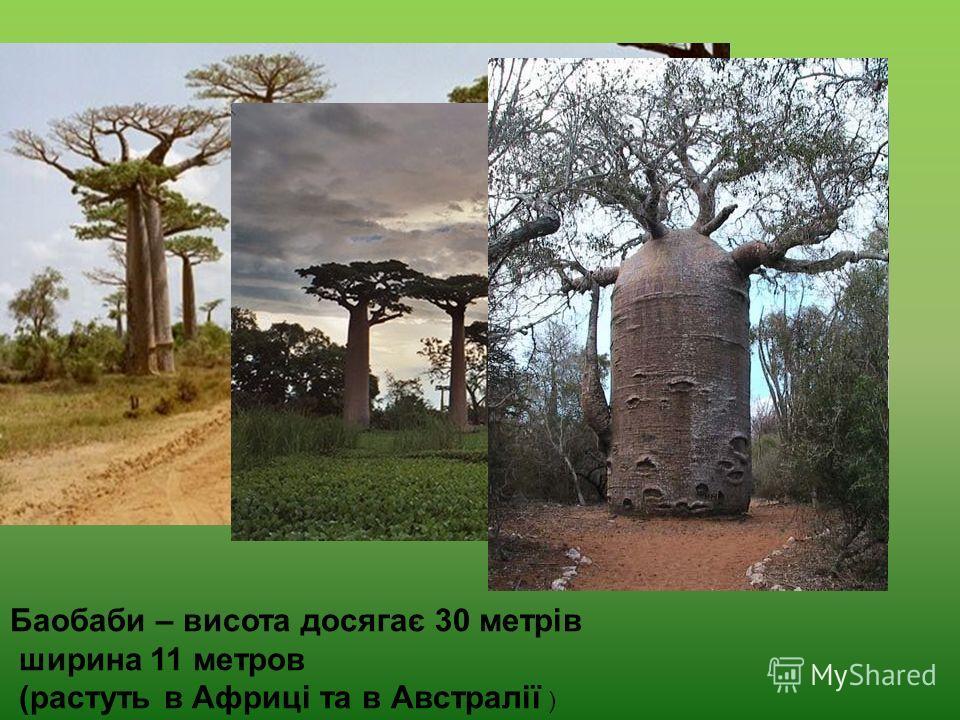 Баобаби – висота досягає 30 метрів ширина 11 метров (растуть в Африці та в Австралії )