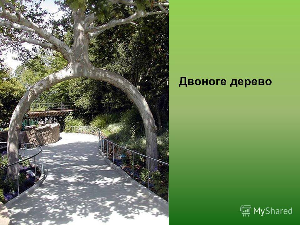 Двоноге дерево