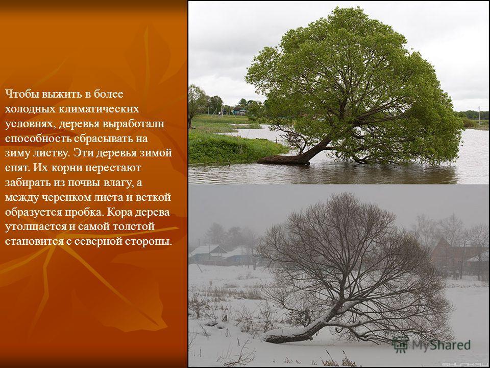 Чтобы выжить в более холодных климатических условиях, деревья выработали способность сбрасывать на зиму листву. Эти деревья зимой спят. Их корни перестают забирать из почвы влагу, а между черенком листа и веткой образуется пробка. Кора дерева утолщае