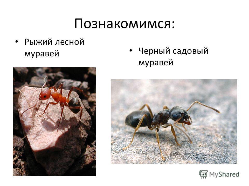 Познакомимся: Рыжий лесной муравей Черный садовый муравей