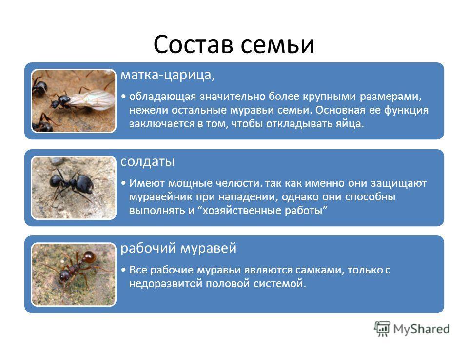 Состав семьи матка-царица, обладающая значительно более крупными размерами, нежели остальные муравьи семьи. Основная ее функция заключается в том, чтобы откладывать яйца. солдаты Имеют мощные челюсти. так как именно они защищают муравейник при нападе