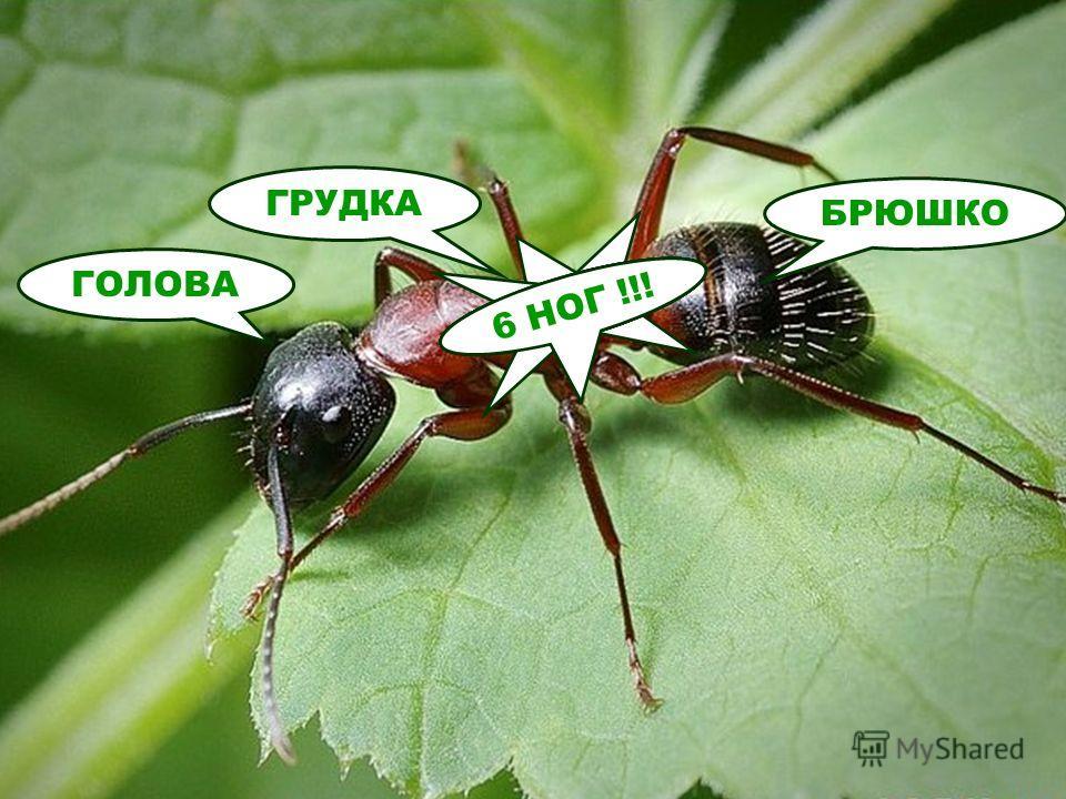 ГОЛОВА ГРУДКА БРЮШКО 6 НОГ !!!