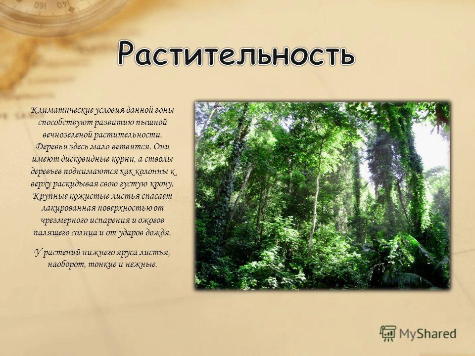 Климатические условия данной зоны способствуют развитию пышной вечнозеленой растительности. Деревья здесь мало ветвятся. Они имеют дисковидные корни, а стволы деревьев поднимаются как колонны к верху раскидывая свою густую крону. Крупные кожистые лис