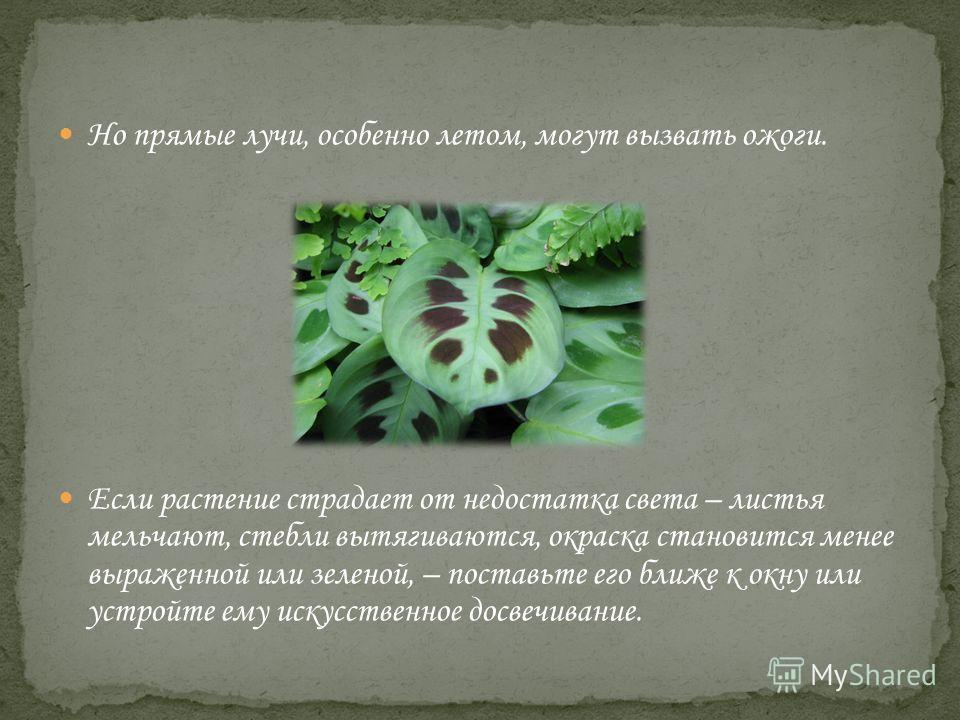 Но прямые лучи, особенно летом, могут вызвать ожоги. Если растение страдает от недостатка света – листья мельчают, стебли вытягиваются, окраска становится менее выраженной или зеленой, – поставьте его ближе к окну или устройте ему искусственное досве