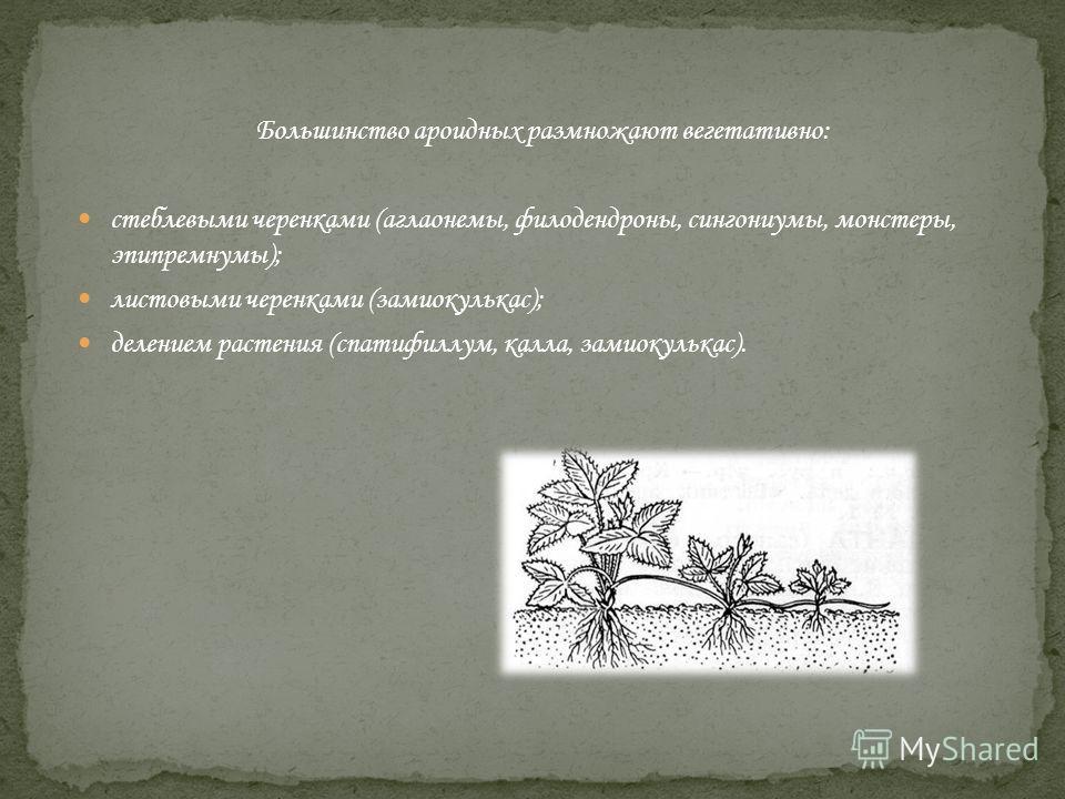 Большинство ароидных размножают вегетативно: стеблевыми черенками (аглаонемы, филодендроны, сингониумы, монстеры, эпипремнумы); листовыми черенками (замиокулькас); делением растения (спатифиллум, калла, замиокулькас).