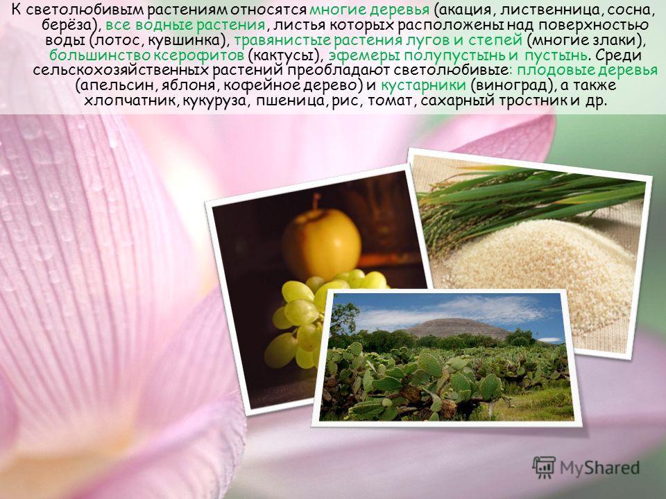 К светолюбивым растениям относятся многие деревья (акация, лиственница, сосна, берёза), все водные растения, листья которых расположены над поверхностью воды (лотос, кувшинка), травянистые растения лугов и степей (многие злаки), большинство ксерофито