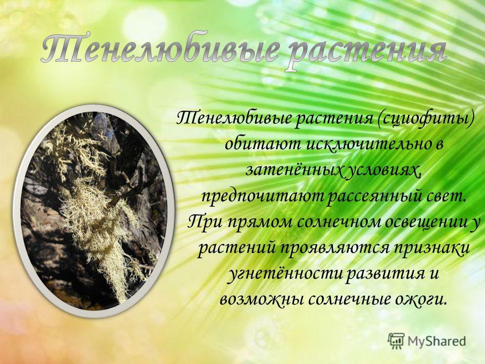 Тенелюбивые растения (сциофиты) обитают исключительно в затенённых условиях, предпочитают рассеянный свет. При прямом солнечном освещении у растений проявляются признаки угнетённости развития и возможны солнечные ожоги.