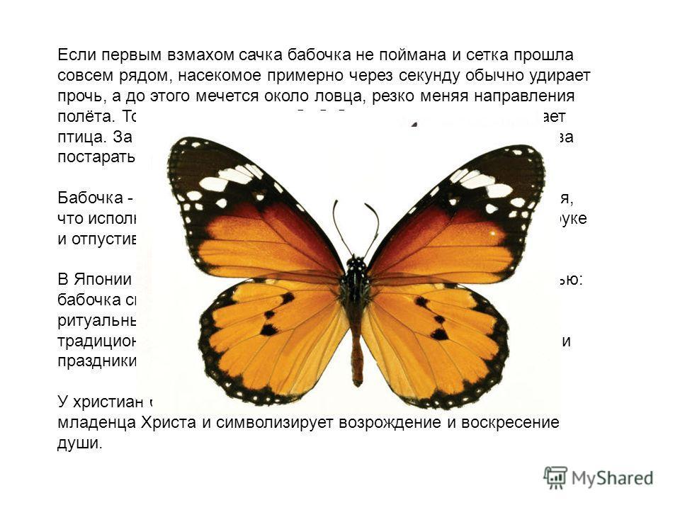 Если первым взмахом сачка бабочка не поймана и сетка прошла совсем рядом, насекомое примерно через секунду обычно удирает прочь, а до этого мечется около ловца, резко меняя направления полёта. Точно так же ведёт себя бабочка, когда на неё нападает пт