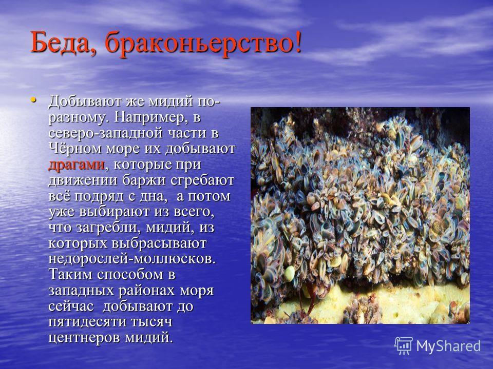 Беда, браконьерство! Добывают же мидий по- разному. Например, в северо-западной части в Чёрном море их добывают драгами, которые при движении баржи сгребают всё подряд с дна, а потом уже выбирают из всего, что загребли, мидий, из которых выбрасывают