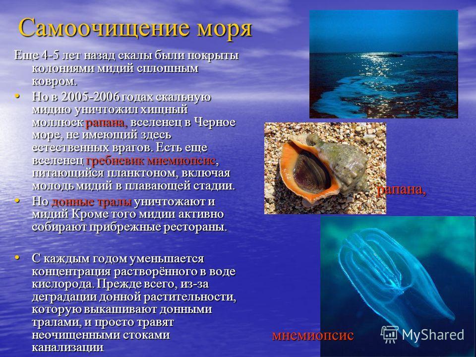 Самоочищение моря Еще 4-5 лет назад скалы были покрыты колониями мидий сплошным ковром. Но в 2005-2006 годах скальную мидию уничтожил хищный моллюск рапана, вселенец в Черное море, не имеющий здесь естественных врагов. Есть еще вселенец гребневик мне