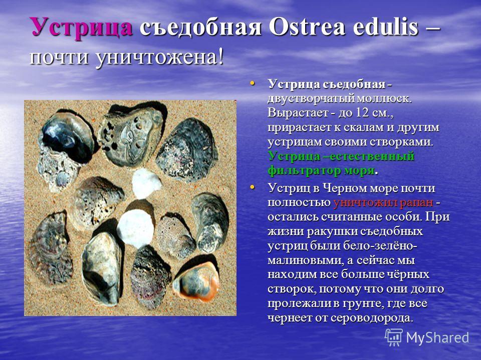 Устрица съедобная Ostrea edulis – почти уничтожена! Устрица съедобная - двустворчатый моллюск. Вырастает - до 12 см., прирастает к скалам и другим устрицам своими створками. Устрица –естественный фильтратор моря. Устрица съедобная - двустворчатый мол