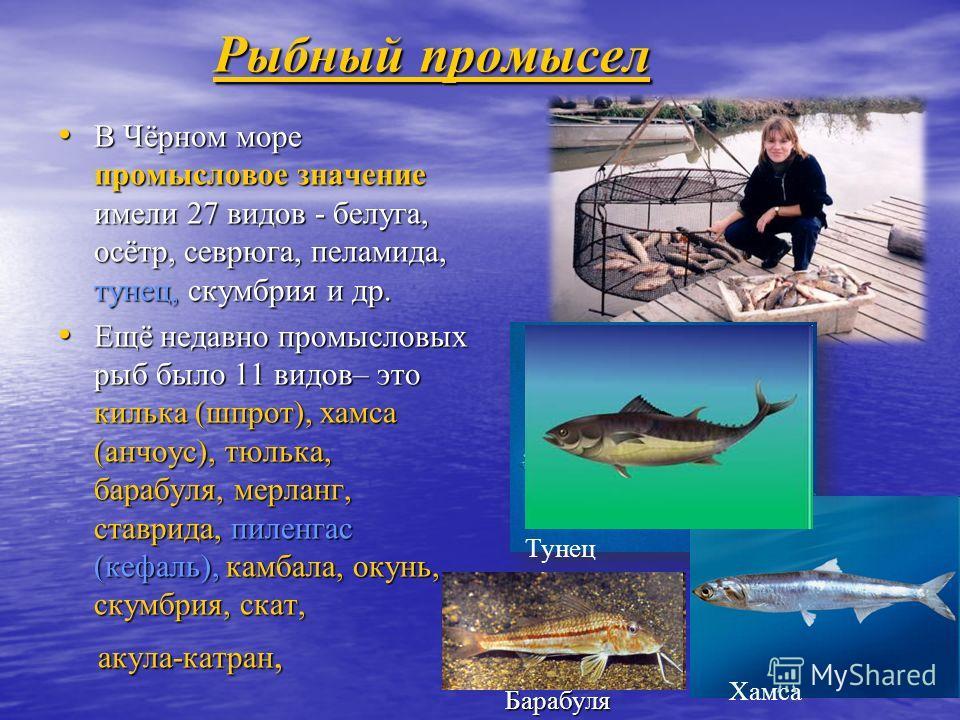 Рыбный промысел В Чёрном море промысловое значение имели 27 видов - белуга, осётр, севрюга, пеламида, тунец, скумбрия и др. В Чёрном море промысловое значение имели 27 видов - белуга, осётр, севрюга, пеламида, тунец, скумбрия и др. Ещё недавно промыс