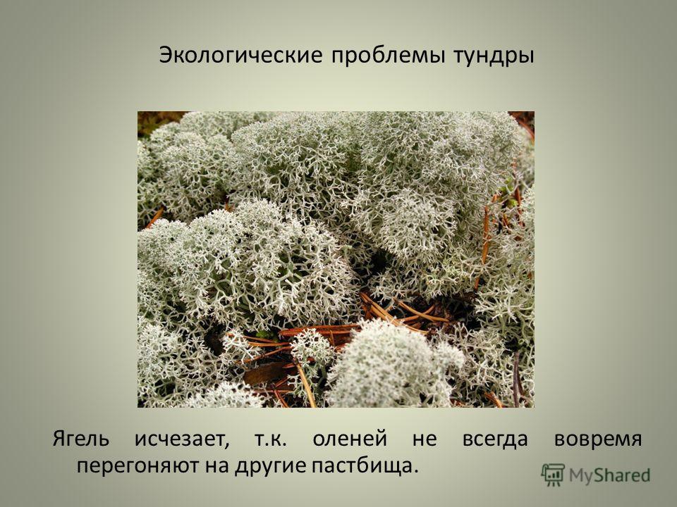 Экологические проблемы тундры Ягель исчезает, т.к. оленей не всегда вовремя перегоняют на другие пастбища.