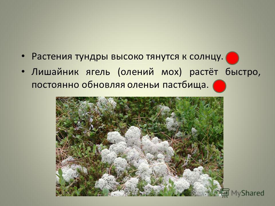 Растения тундры высоко тянутся к солнцу. Лишайник ягель (олений мох) растёт быстро, постоянно обновляя оленьи пастбища.