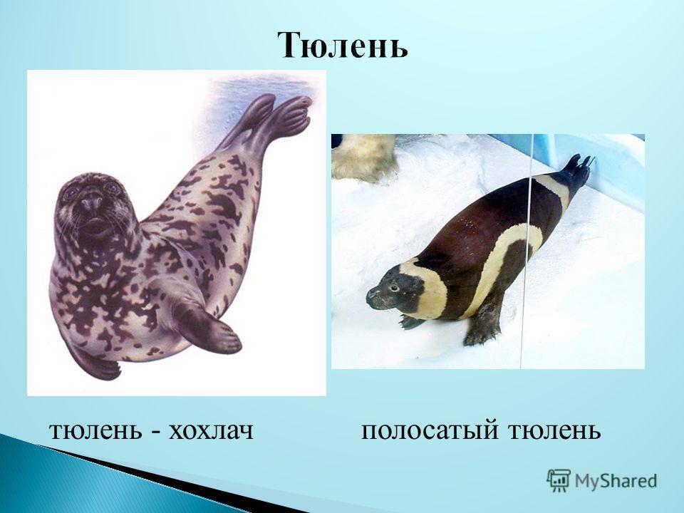 тюлень - хохлач полосатый тюлень