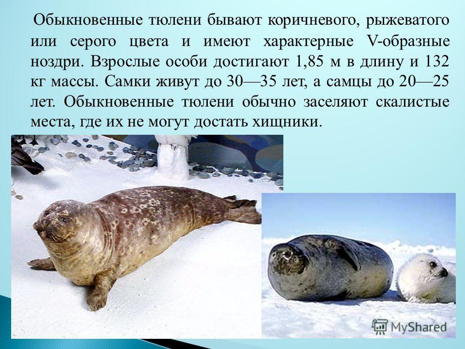 Обыкновенные тюлени бывают коричневого, рыжеватого или серого цвета и имеют характерные V-образные ноздри. Взрослые особи достигают 1,85 м в длину и 132 кг массы. Самки живут до 3035 лет, а самцы до 2025 лет. Обыкновенные тюлени обычно заселяют скали