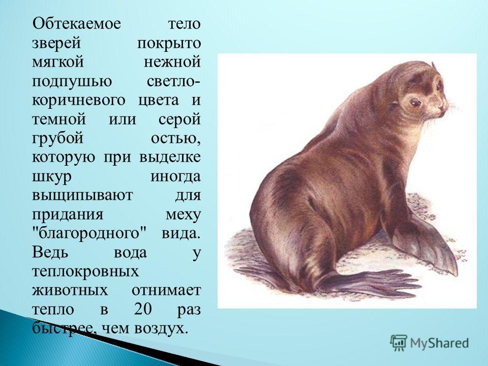 Обтекаемое тело зверей покрыто мягкой нежной подпушью светло- коричневого цвета и темной или серой грубой остью, которую при выделке шкур иногда выщипывают для придания меху