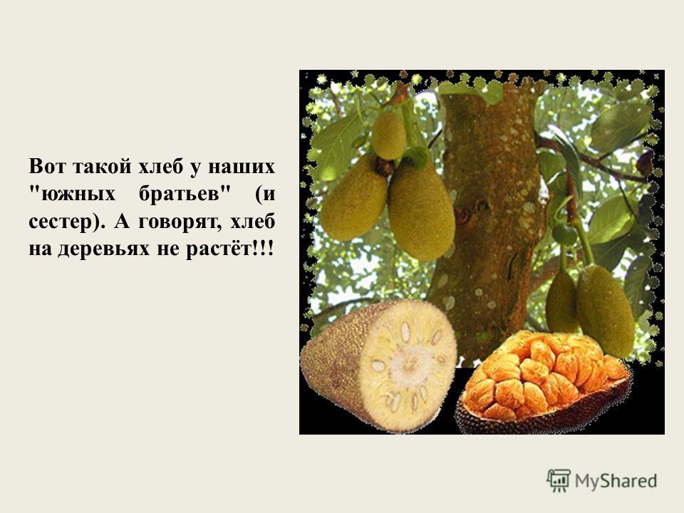 Вот такой хлеб у наших южных братьев (и сестер). А говорят, хлеб на деревьях не растёт!!!