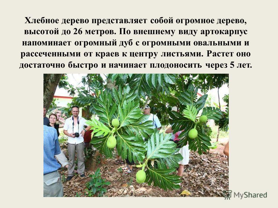 Хлебное дерево представляет собой огромное дерево, высотой до 26 метров. По внешнему виду артокарпус напоминает огромный дуб с огромными овальными и рассеченными от краев к центру листьями. Растет оно достаточно быстро и начинает плодоносить через 5