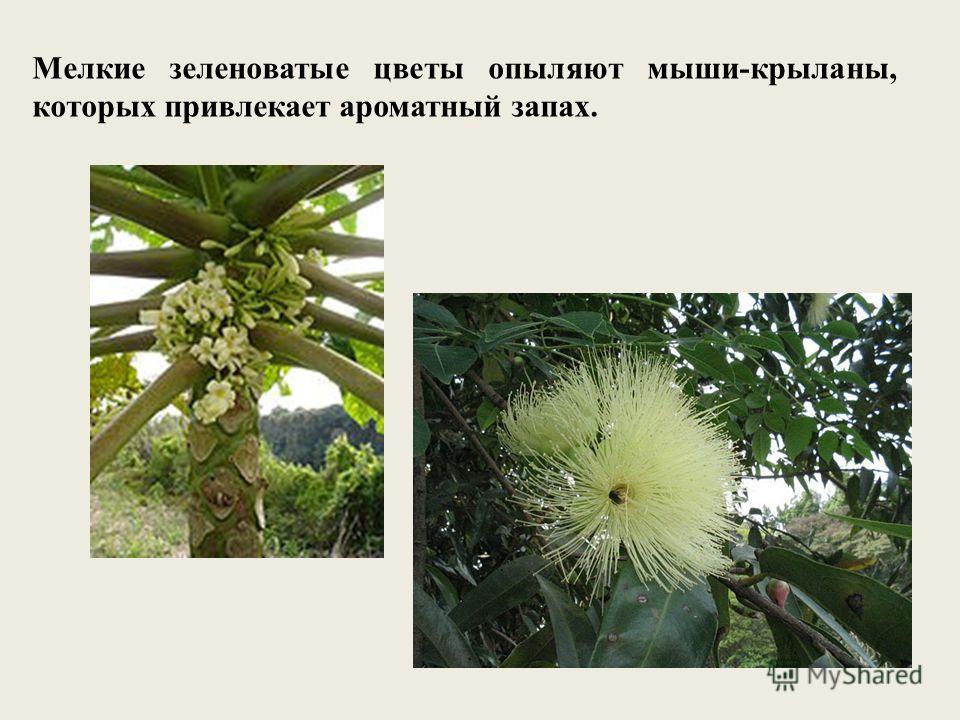 Мелкие зеленоватые цветы опыляют мыши-крыланы, которых привлекает ароматный запах.