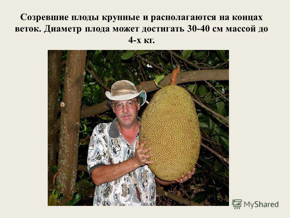 Созревшие плоды крупные и располагаются на концах веток. Диаметр плода может достигать 30-40 см массой до 4-х кг.