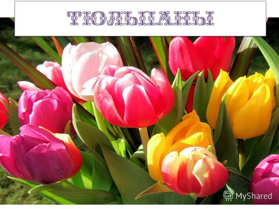 Замечательный цветок, Словно яркий огонёк. Пышный, важный, словно пан, Нежный бархатный … Их в Голландии найдёте, Там везде они в почёте. Словно яркие стаканы, В скверах там цветут... Из луковки вырос, Но в пищу негож. На яркий стаканчик Цветок тот п