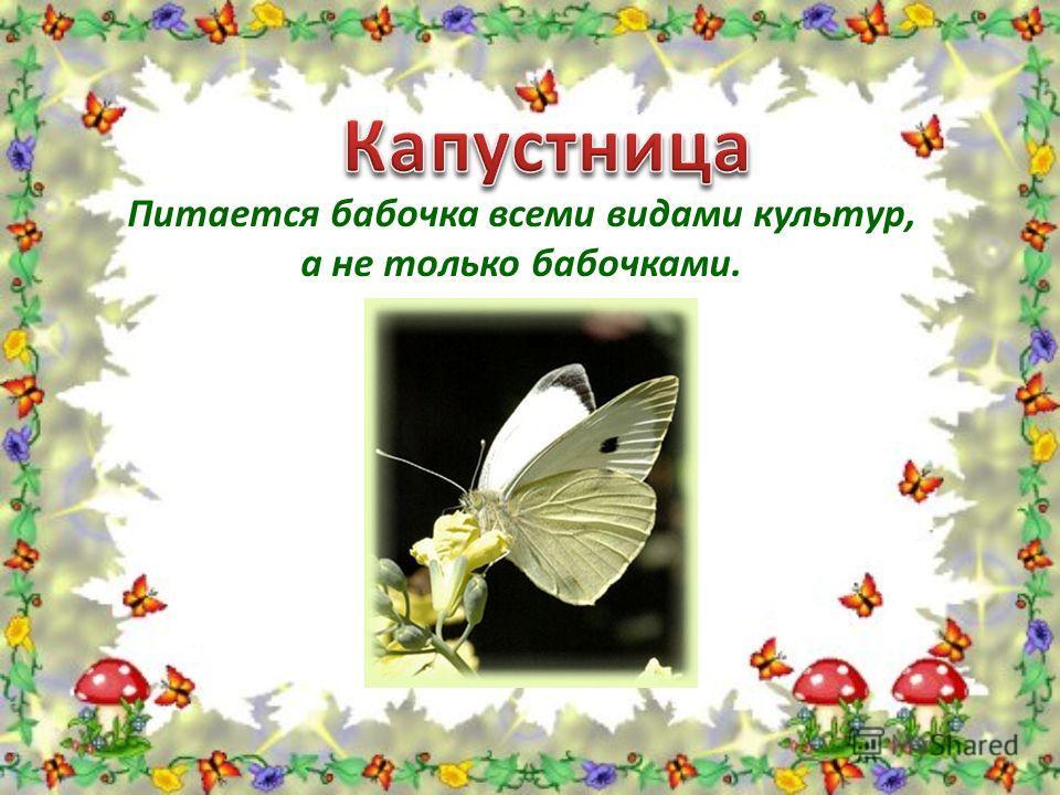 Питается бабочка всеми видами культур, а не только бабочками.