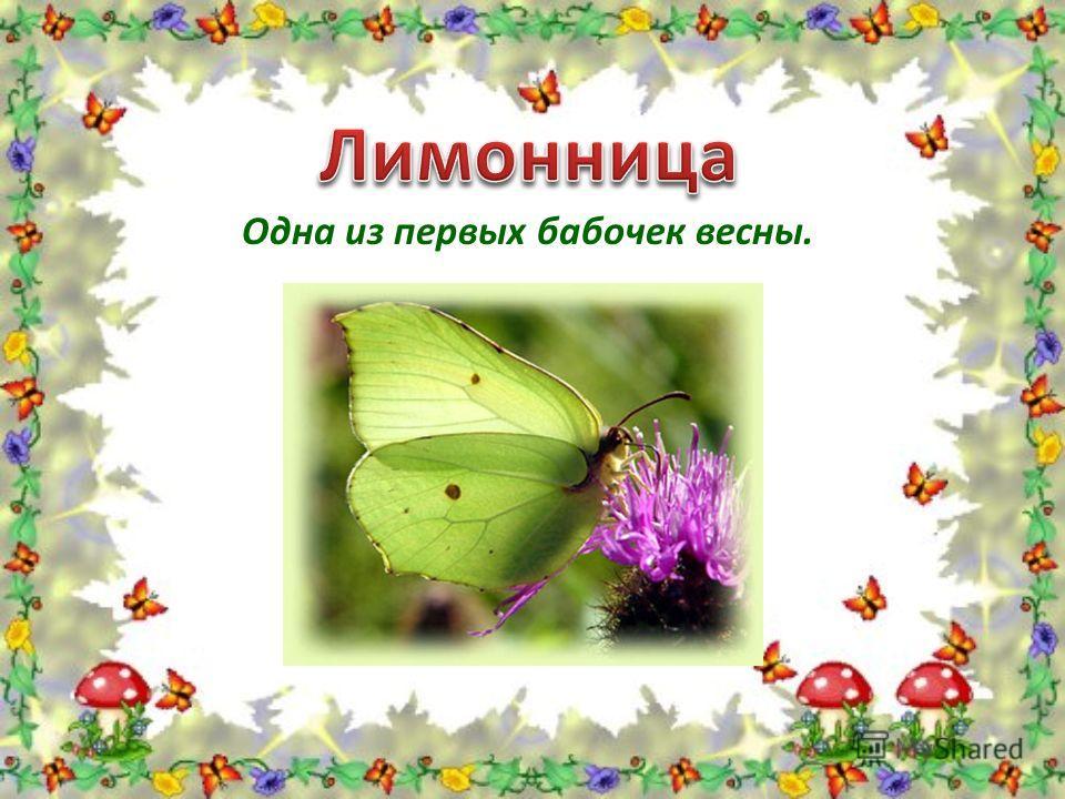 Одна из первых бабочек весны.