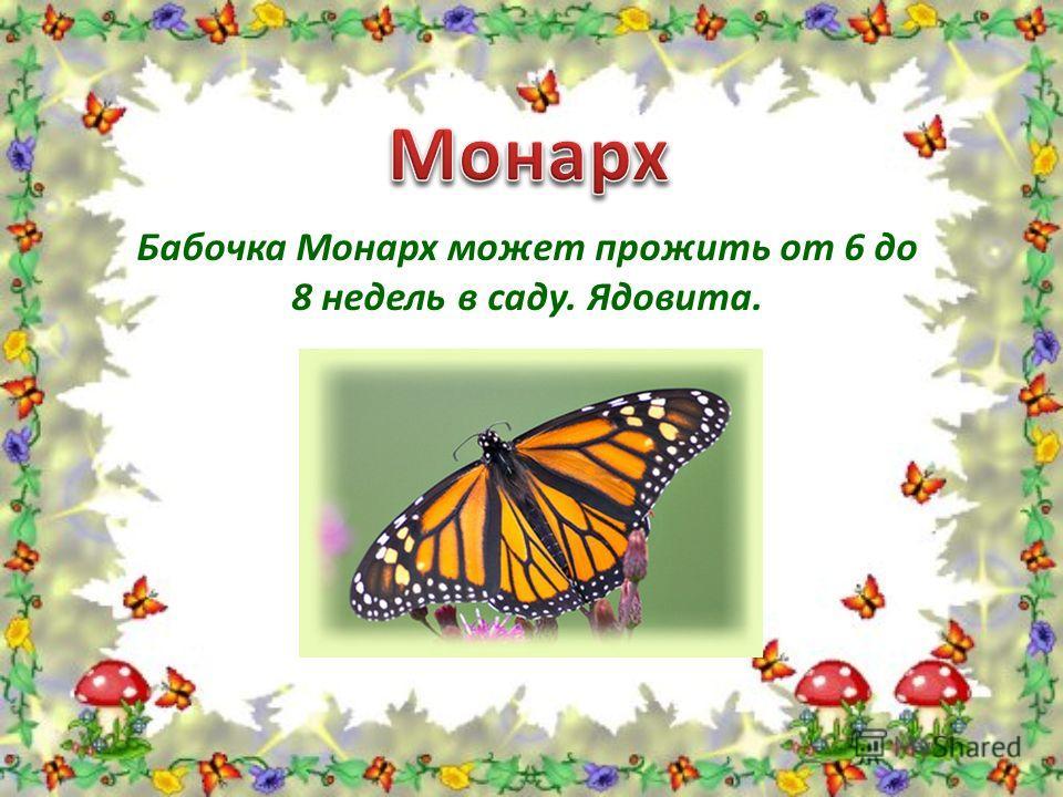 Бабочка Монарх может прожить от 6 до 8 недель в саду. Ядовита.