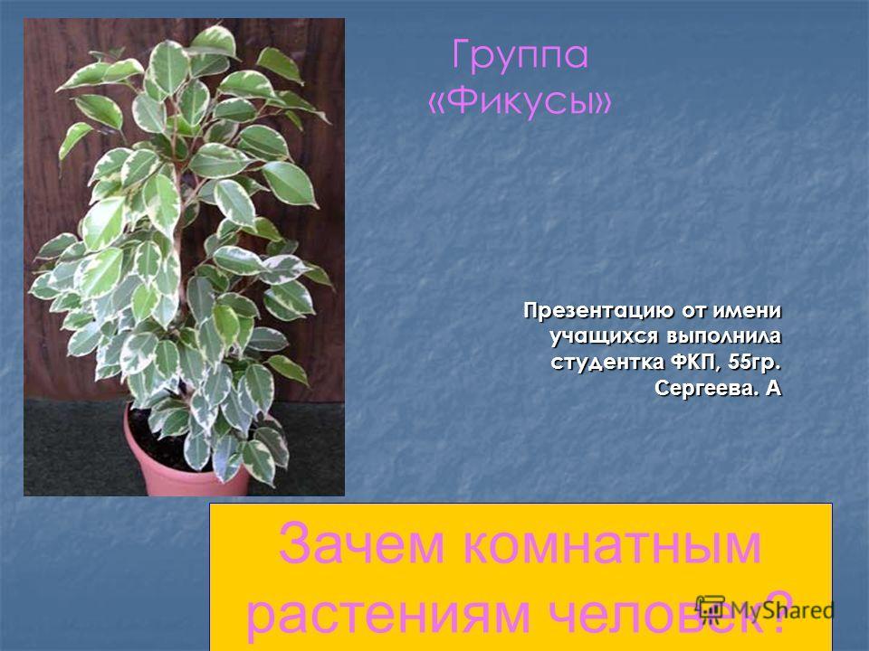 Группа «Фикусы» Презентацию от имени учащихся выполнил а студентк а ФКП, 55гр. Сергеева. А Зачем комнатным растениям человек?