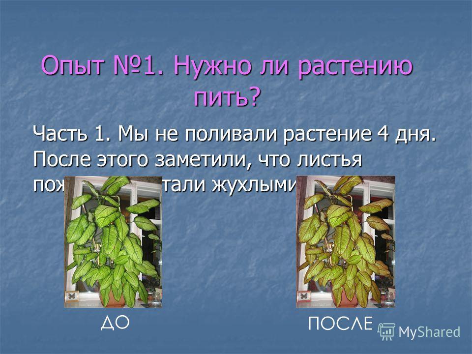 Опыт 1. Нужно ли растению пить? Часть 1. Мы не поливали растение 4 дня. После этого заметили, что листья пожелтели, стали жухлыми. ДО ПОСЛЕ
