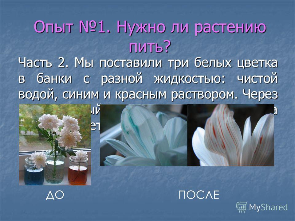 Опыт 1. Нужно ли растению пить? Часть 2. Мы поставили три белых цветка в банки с разной жидкостью: чистой водой, синим и красным раствором. Через 2 дня первый цветок остался таким же, а второй и третий окрасились. ДОПОСЛЕ