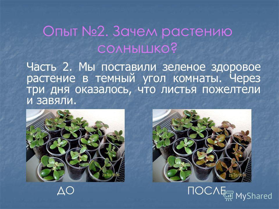 Опыт 2. Зачем растению солнышко? Часть 2. Мы поставили зеленое здоровое растение в темный угол комнаты. Через три дня оказалось, что листья пожелтели и завяли. ДО ПОСЛЕ
