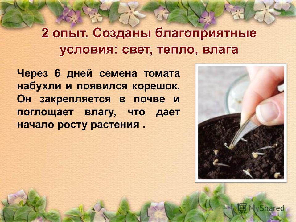 Через 6 дней семена томата набухли и появился корешок. Он закрепляется в почве и поглощает влагу, что дает начало росту растения.