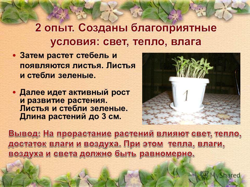 Затем растет стебель и появляются листья. Листья и стебли зеленые. Далее идет активный рост и развитие растения. Листья и стебли зеленые. Длина растений до 3 см.