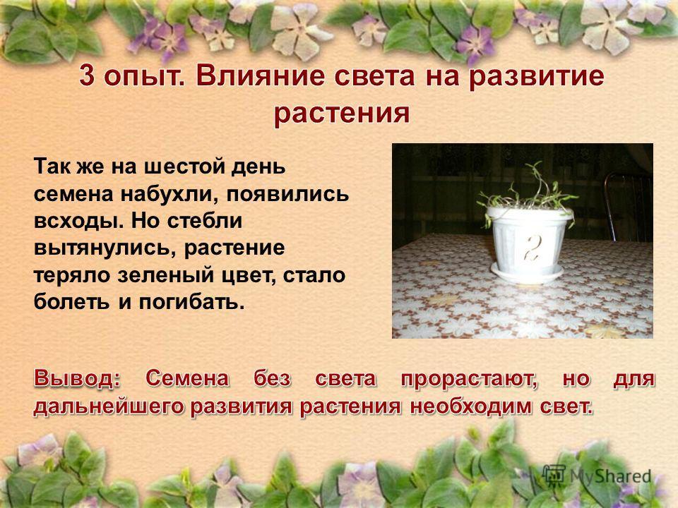 Так же на шестой день семена набухли, появились всходы. Но стебли вытянулись, растение теряло зеленый цвет, стало болеть и погибать.