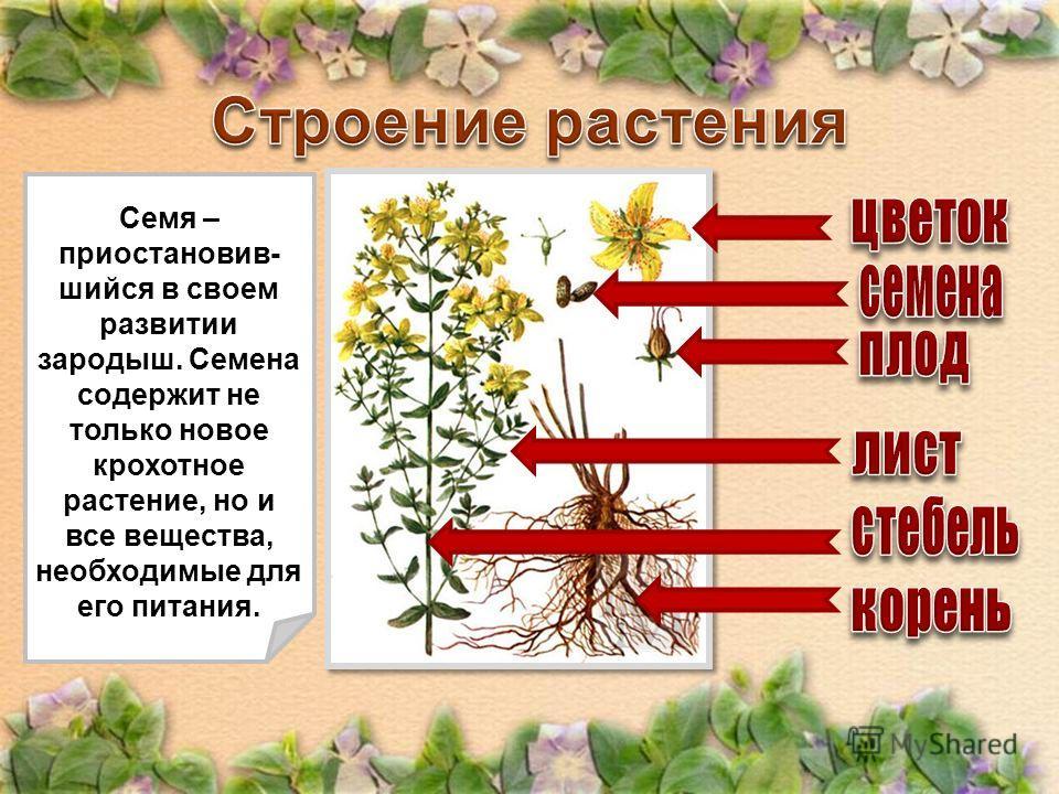 Закрепляет растения в почве, поглощает из почвы воду и растворенные в ней необходимые минеральные вещества. Служит опорой для цветов и листьев, связывает части растения друг с другом с помощью сосудов, по которым поднимается вода и минеральные вещест