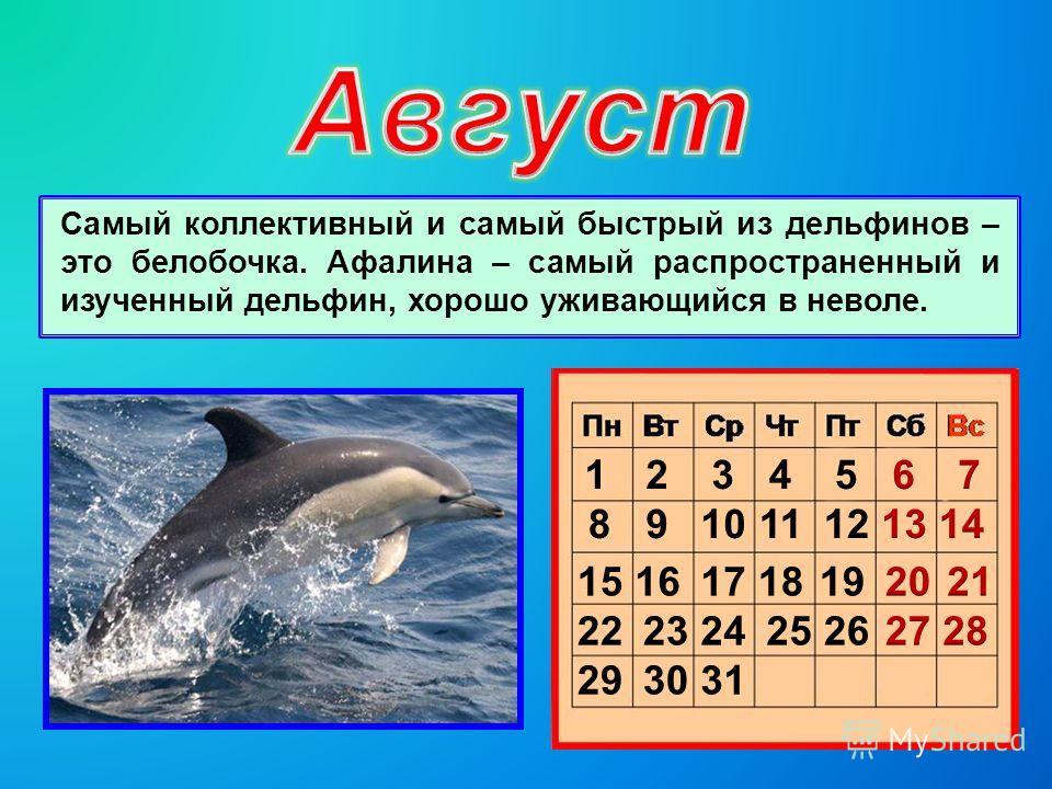 Самый коллективный и самый быстрый из дельфинов – это белобочка. Афалина – самый распространенный и изученный дельфин, хорошо уживающийся в неволе.