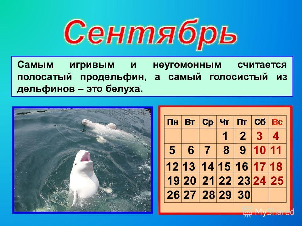 Самым игривым и неугомонным считается полосатый продельфин, а самый голосистый из дельфинов – это белуха.