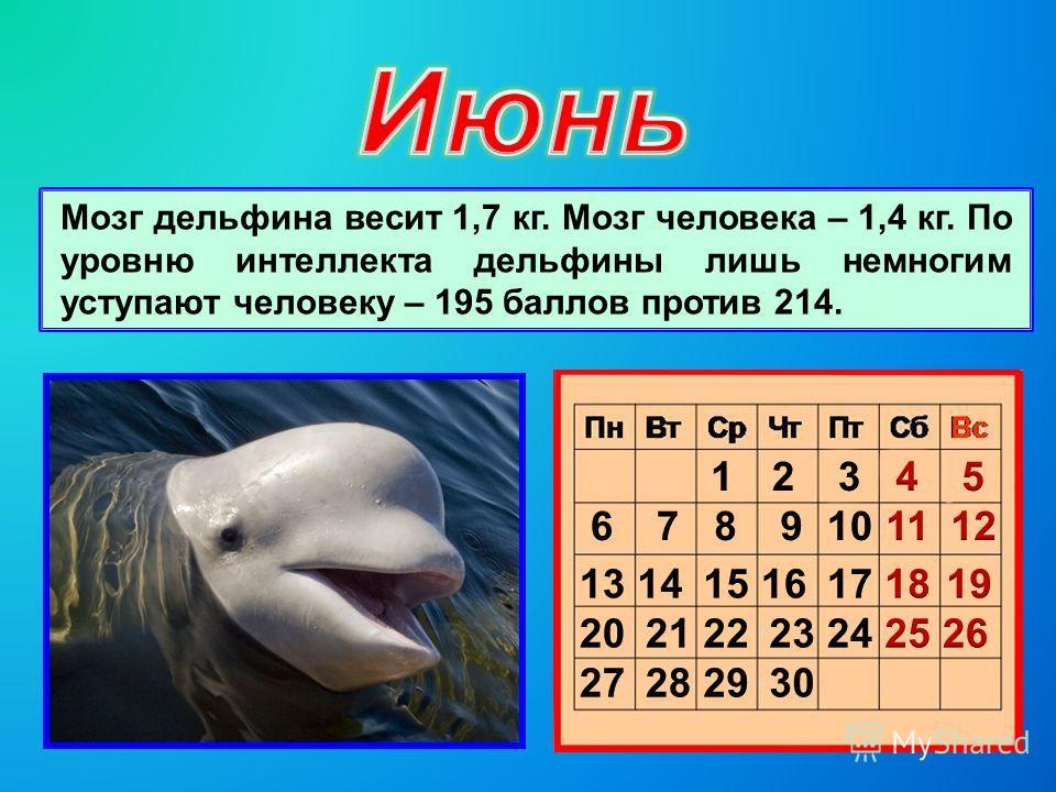 Мозг дельфина весит 1,7 кг. Мозг человека – 1,4 кг. По уровню интеллекта дельфины лишь немногим уступают человеку – 195 баллов против 214.