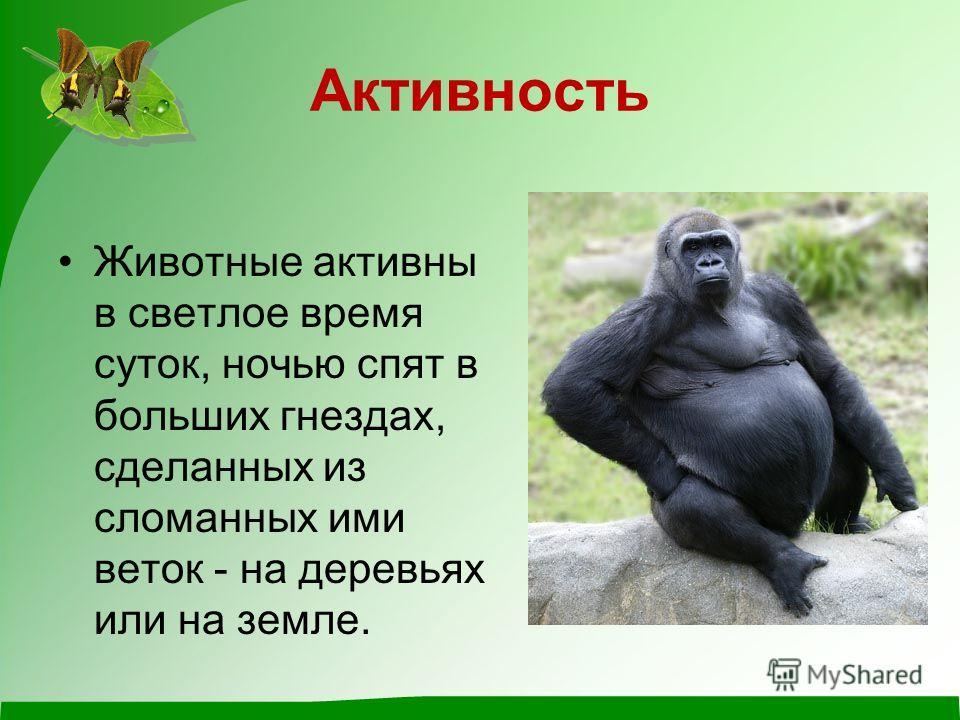 Питание Основу питания горилл составляет растительная пища. Из употребляемых растений можно выделить дикий сельдерей, подмаренник, крапиву, побеги бамбука, синие плоды пигеума. Фрукты и орехи второстепенные продукты питания. Животная пища составляет