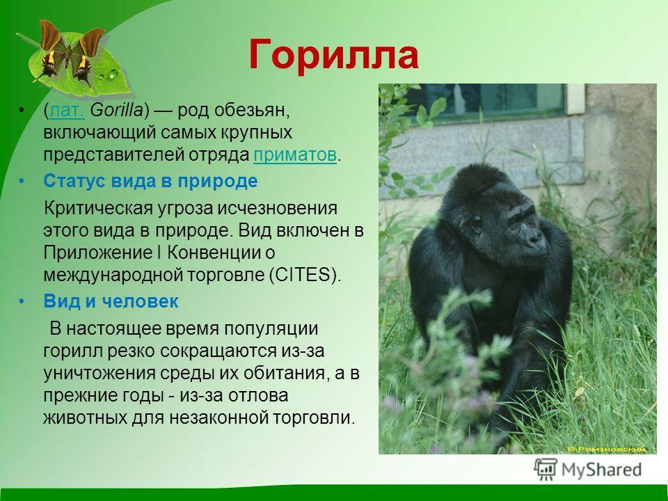 О происхождении человека выдвигаются многие теории, но многие ученые склоняют свое мнение к тому, что человек когда-то был гориллой. До сих пор эта теория не подтвердилась, но и не опровергалась!