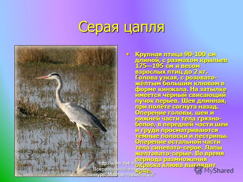 Серая цапля Крупная птица 90-100 см длиной, с размахом крыльев 175195 см и весом взрослых птиц до 2 кг. Голова узкая, с розовато- жёлтым большим клювом в форме кинжала. На затылке имеется чёрный свисающий пучок перьев. Шея длинная, при полёте согнута