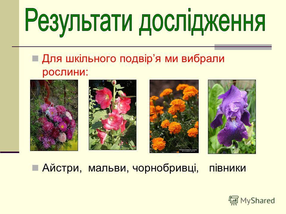 Для шкільного подвіря ми вибрали рослини: Айстри, мальви, чорнобривці, півники