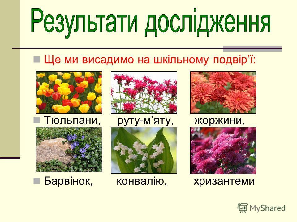 Ще ми висадимо на шкільному подвірї: Тюльпани, руту-мяту, жоржини, Барвінок, конвалію, хризантеми