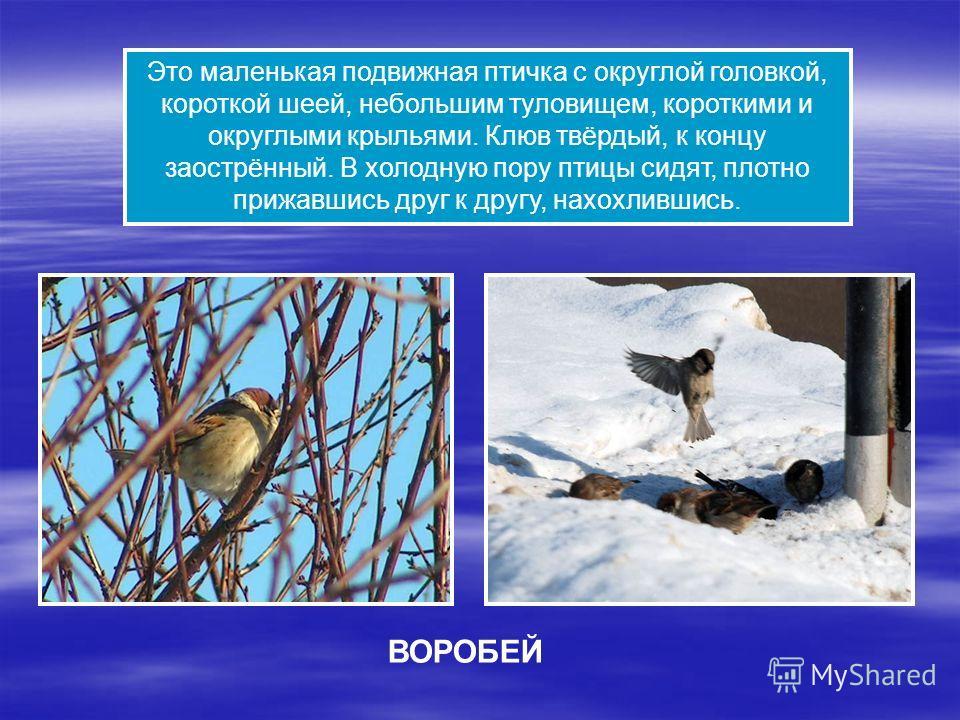 Это маленькая подвижная птичка с округлой головкой, короткой шеей, небольшим туловищем, короткими и округлыми крыльями. Клюв твёрдый, к концу заострённый. В холодную пору птицы сидят, плотно прижавшись друг к другу, нахохлившись. ВОРОБЕЙ