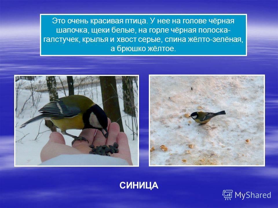 Это очень красивая птица. У нее на голове чёрная шапочка, щеки белые, на горле чёрная полоска- галстучек, крылья и хвост серые, спина жёлто-зелёная, а брюшко жёлтое. СИНИЦА